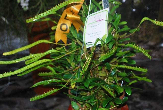 Bulbophyllum falcatum.