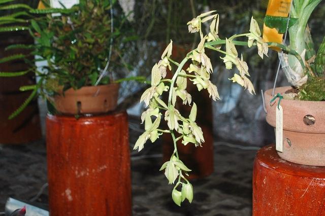 Catasetum ciliatum alba.