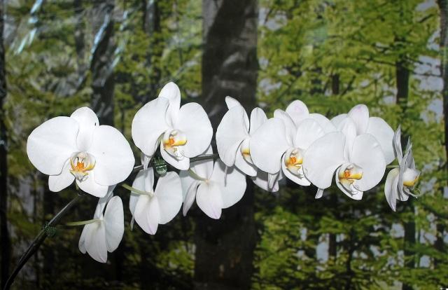 Phalaenopsis alba.