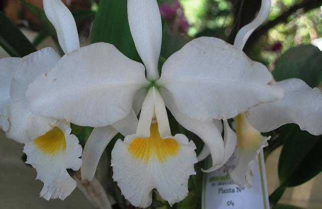 Cattleya labiata var. alba