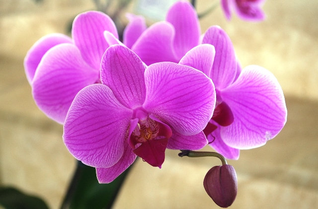 Phalaenopsis lilás estriado