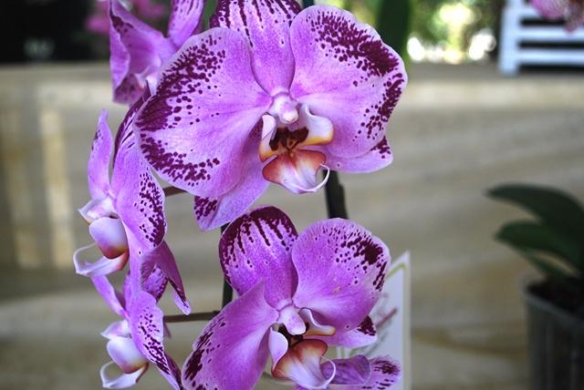 Phalaenopsis pintalgado