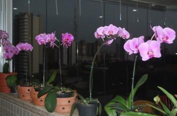 """Phalaenopsis para os que """"vestiram a camisa"""" da ACEO no FestOrquídeas"""