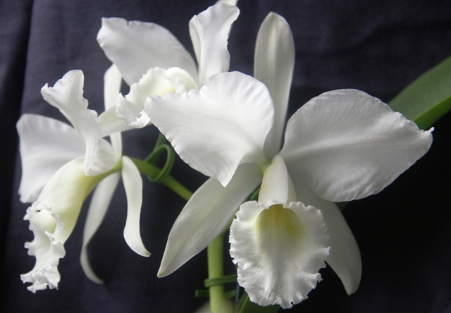 Cattleya labiata var. alba plena