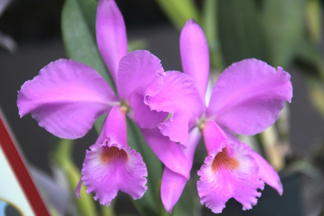 Cattleya labiata var. concolor