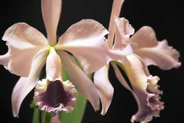 Cattleya labiata var. perolada