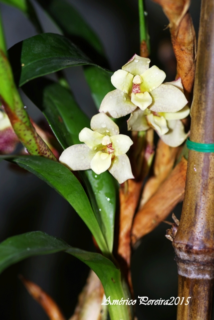 Maxillaria funicaulis