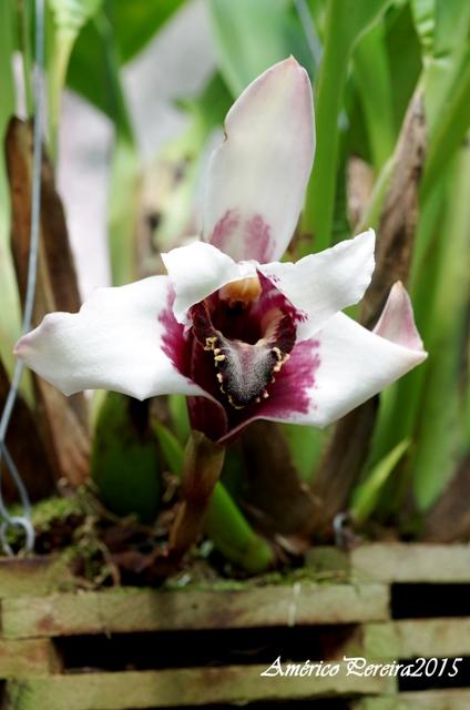 Maxillaria sanderiana 'Black Lip'