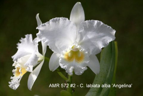 Cattleya labiata alba 'Angelina'