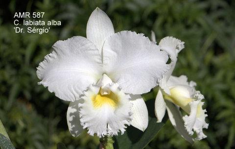 Cattleya labiata alba 'Dr. Sérgio'