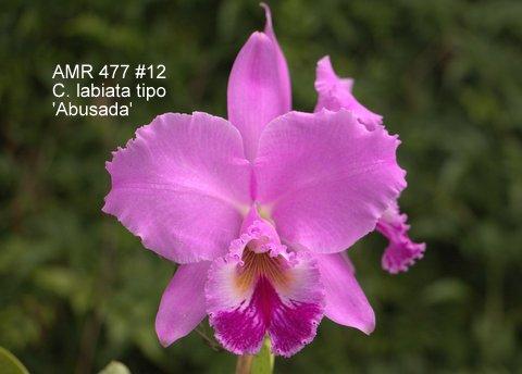 Cattleya labiata tipo 'Abusada'