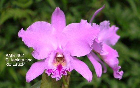 Cattleya labiata tipo 'do Lauck'
