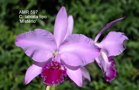 Cattleya labiata tipo 'Mistério'
