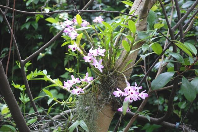 Dendrobium nobile em tronco de jacarandá.