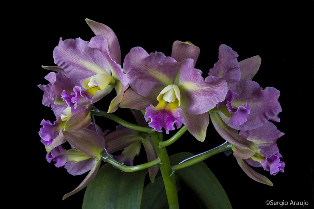 Brassolaeliocattleya Memoria Helen Brown x (C Portia x Blc Waikiki Gold)