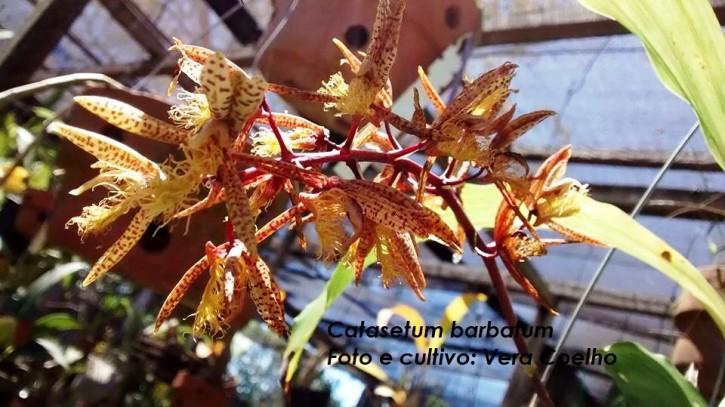 Catasetum barbatum