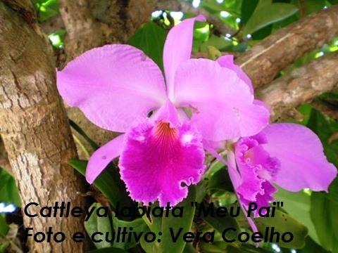 Cattleya labiata 'Meu Pai'