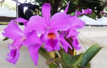 Cattleya labiata, orquídea cearense ameaçada de extinção.