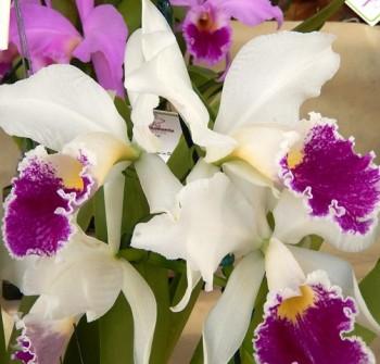9ª FestOrquideas - Cattleya labiata semialba