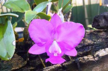 Cattleya walkeriana. (Foto e cultivo: Batista Demétrio)