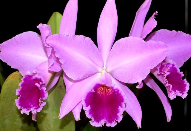 Cattleya labiata tipo. (Cultivo e foto: Italo Gurgel)