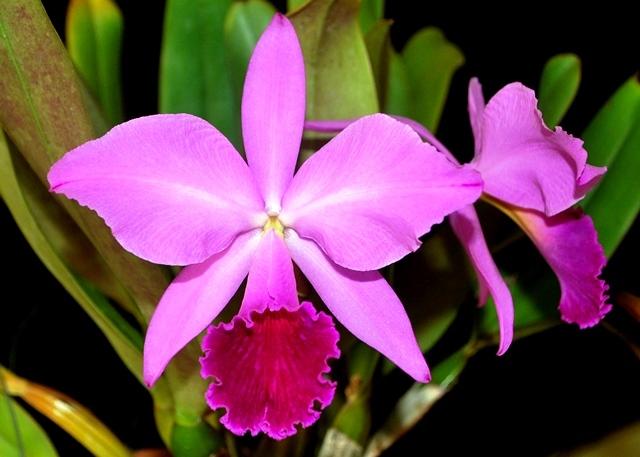 Cattleya labiata rubra 'Schuller' x 'Daize'. (Cultivo e foto: Italo Gurgel)
