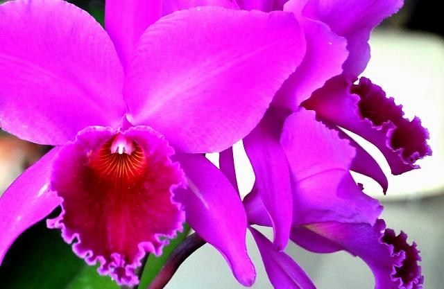 Cattleya labiata 'Vera Cristina' x lilás 'Borges'. (Cultivo e foto: Italo Gurgel)