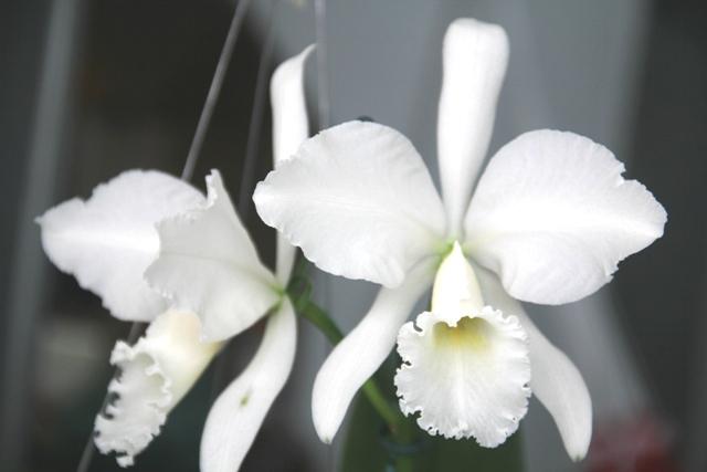 Cattleya labiata alba 'Rita Dreher'. (Cultivo e foto: Rogério Sella)
