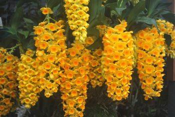 Dendrobium crisotoxum