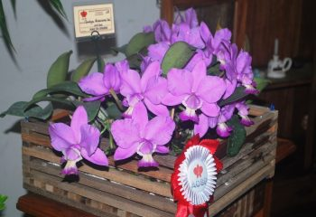 Cattleya Graciosa 'Kao'