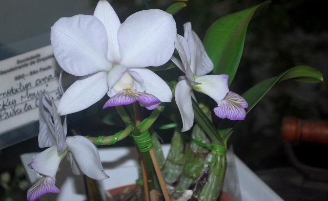 Cattleya nobilior amaliae 'Mickey Mouse'