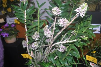 Dendrobium similliae