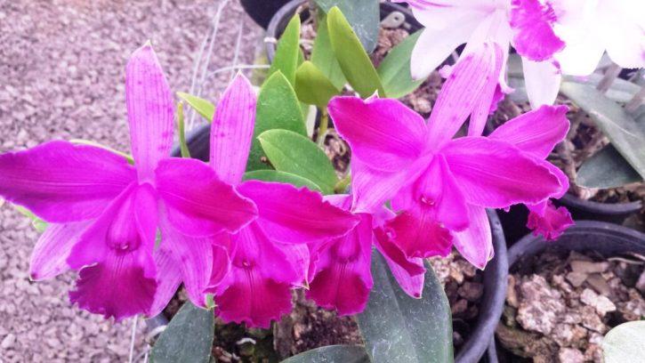 Cattleya intermedia rubra venosa