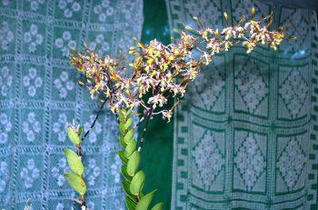 Dendrobium Caesar