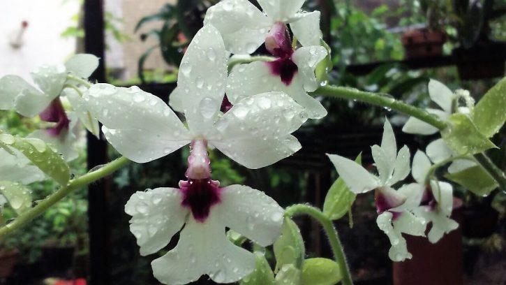 Orquídea Ceará