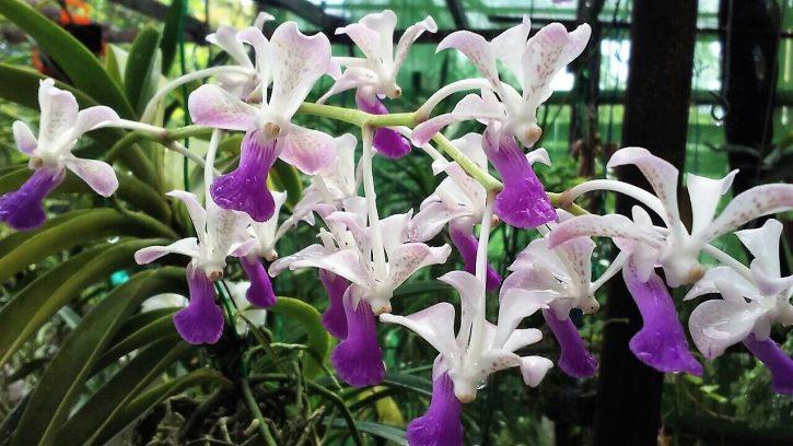 Orquídeas Ceará