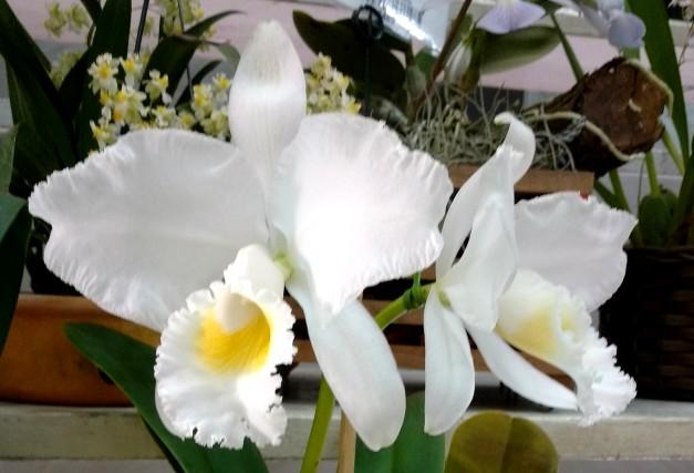 Cattleya trianae alba