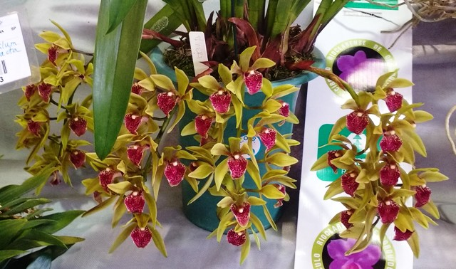 Cymbidium devonianum x Yellow Candy