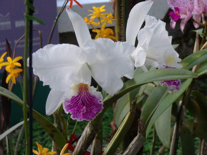 Cattleya lueddemanniana semialba